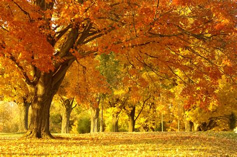 a tree in the fall autumn oak trees autumn posters picture