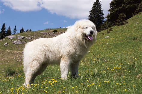 farm guardians the great pyrenees animals grit magazine