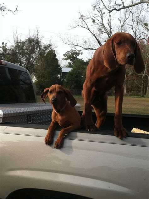 Do Redbone Coonhounds Shed by Pictures Dogs Hound Dogs Redbone Coonhounds Breeds