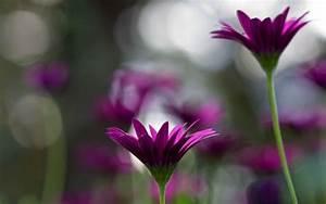 Violet Flowers HD Wallpapers