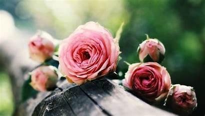 Roses Pink Chromebook Desktop Wallpapers Rose Background