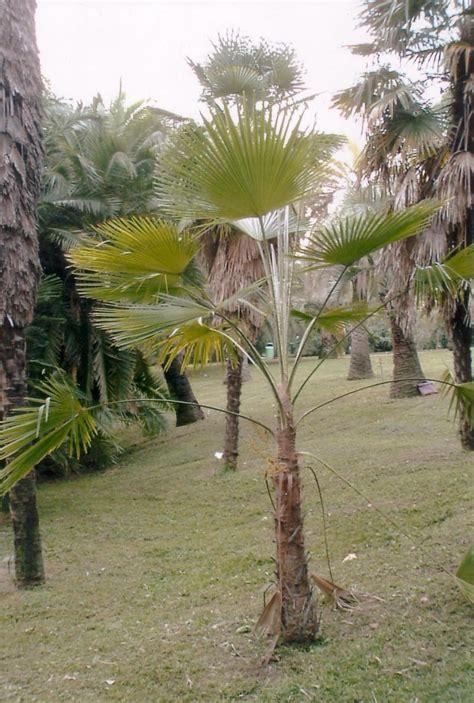 trachycarpus martianus wikipedia