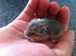 Pics Of Baby Hamsters www imgkid com The Image Kid Has It!