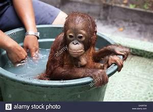 Orphan orangutan (Pongo pygmaeus) having a bath at the ...