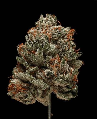 Marijuana Weed Buds Glamour Cannabis Bubba Shots