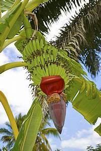 85 best Fruits of Panama images on Pinterest | Exotic ...