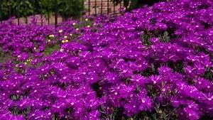 50+ DELOSPERMA PURPLE ICE PLANT FLOWER SEEDS /PERENNIAL   eBay