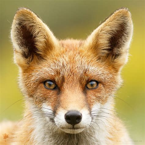 Faces of Foxes: Photographer Proves That Every Fox Has ...