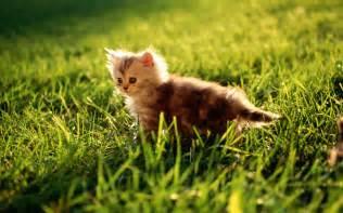 cats grass kitty cat on grass desktop wallpaper wallpaperpixel