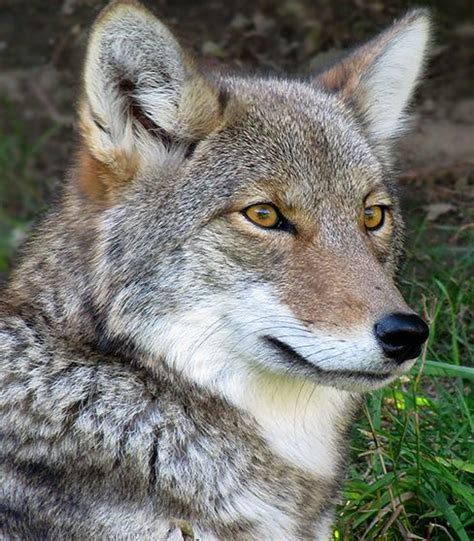 Coyote Fox coyote  fox 488 x 558 · jpeg