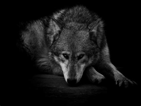 Wallpaper Black Wolf Background by Wolf Wallpaper 60 Images