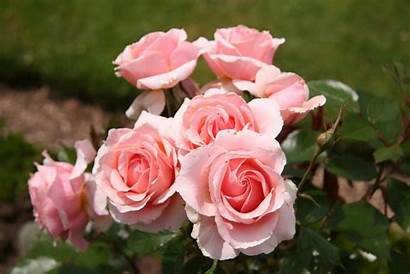 Rose Bush Wallpapers Background Earth Wall Abyss