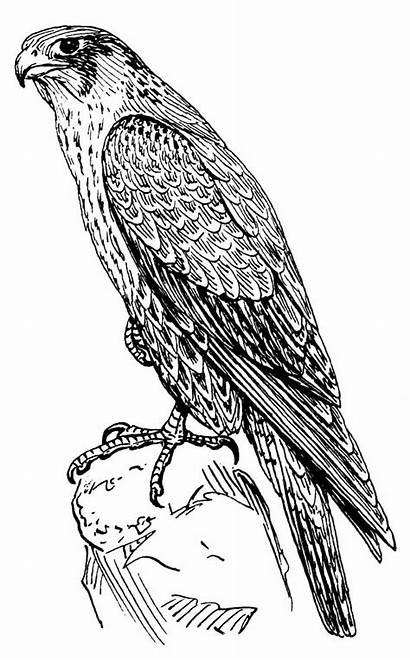 Falcon Animals Coloring Printable Pencil Hawk