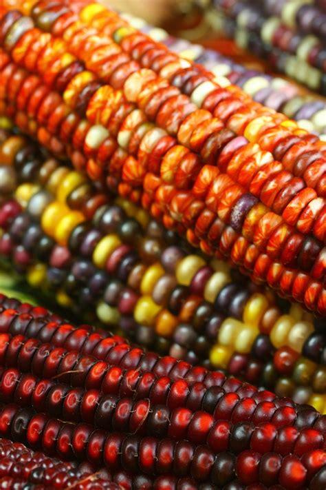 corn history corn and thanksgiving a mini history