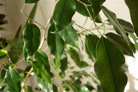 plante pour chambre à coucher nettoyer les plantes vertes d intérieur