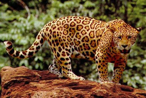 amazing jaguar s jaguar animals amazing facts pictures animals