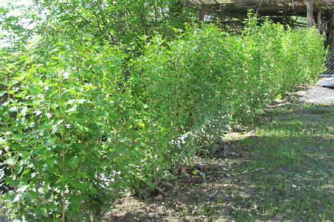 Schnell Wachsende Heckenpflanzen 686 sichtschutz und hecken bader ag