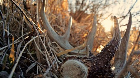 When Do Whitetails Shed Their Antlers by White Gold When Do Bucks Shed Antlers Bone Collector