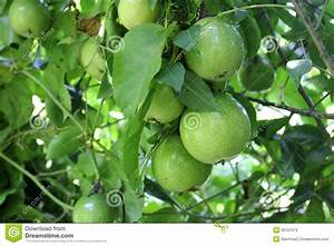 Passion Fruit Tree Stock Photos - Image: 36167373