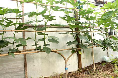 espalier fig figs up north