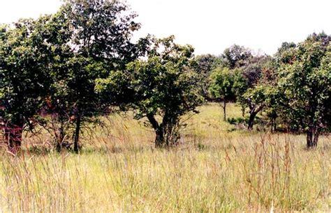 savanna oak trees of oak savannas
