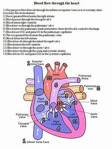12 Best Arteries And Veins Images On Pinterest