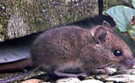 show me pictures of mice british mice types harvest wood yellow necked facts