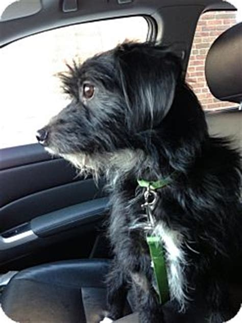 Chicago Il Cairn Terrier Meet Dudley A Dog For Adoption