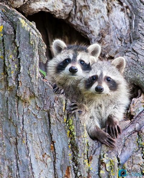 images  raccoons  pinterest odd couples