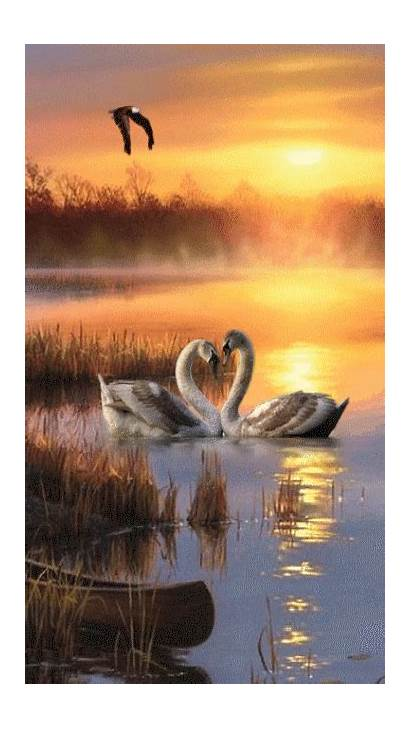 Swan Lake Sunset Nature Animation Gifs Birds