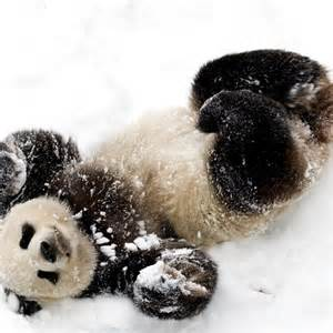 Cute Baby Panda Playing in Snow