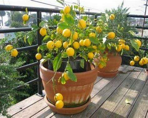 limonero en maceta facilisimo