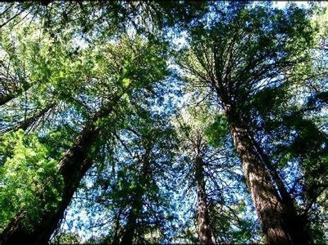 cuisine designe le séquoia le plus grand arbre du monde