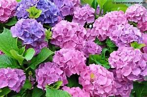 Welche Pflanzen Passen Gut Zu Hortensien : hortensie hydrangea pflege pflanzen d ngen schnitt ~ Lizthompson.info Haus und Dekorationen
