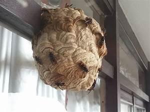 Comment Tuer Un Frelon : les 16 meilleures images du tableau frelon asiatique nid sur pinterest nids nid de frelon ~ Melissatoandfro.com Idées de Décoration