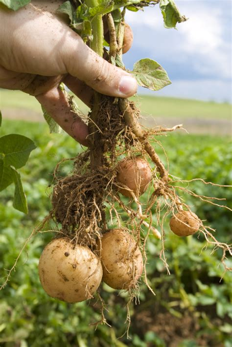 erntezeit fuer kartoffeln wann kann man sie ernten
