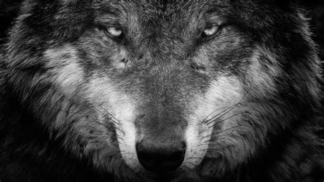 Black And White Wolf Wallpaper by Wolf Black And White Portrait Wallpaper Wallpaper Studio
