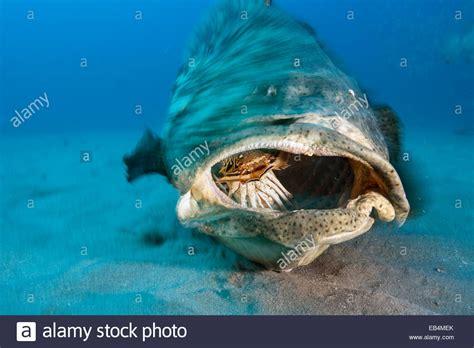 grouper goliath fish atlantic lobster feeds alamy shopping cart