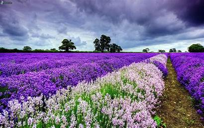 Lavendelfeld Bild Downloaden Wolken Lavanda