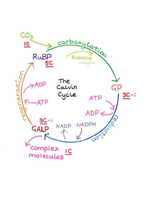 calvin cycle diagram mastering biology world  reference