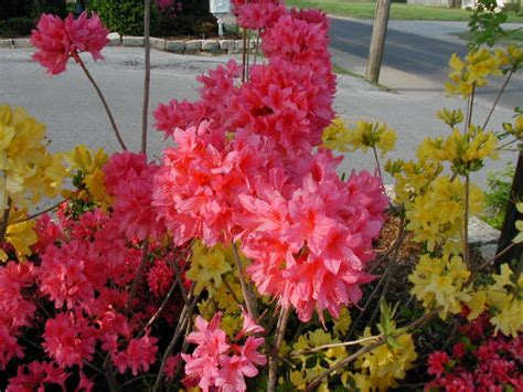 northern lights azalea azalea