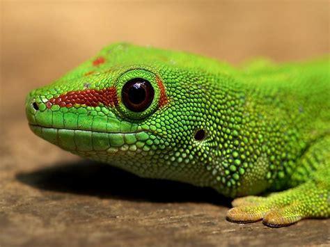 gecko lizard gecko lizard photos normal 1024x768