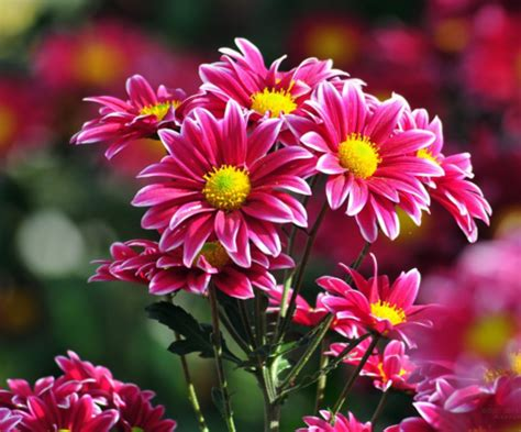 budidaya tanaman hias bunga krisan mudah