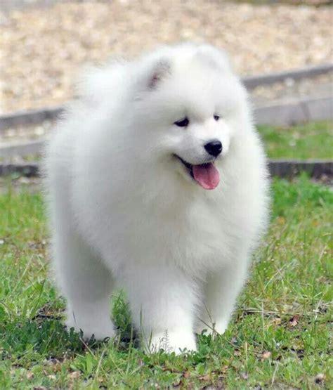 Samoyed Puppy So Cute ️ Cute Animals