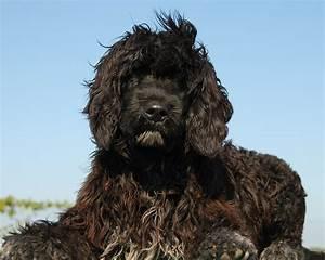 Cão de Água Português Raças de Cães Cão Nosso Pet Sitting