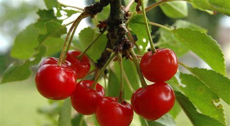conseil deco cuisine cerisier plantation entretien et récolte