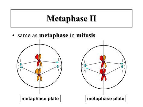 meiosis notes