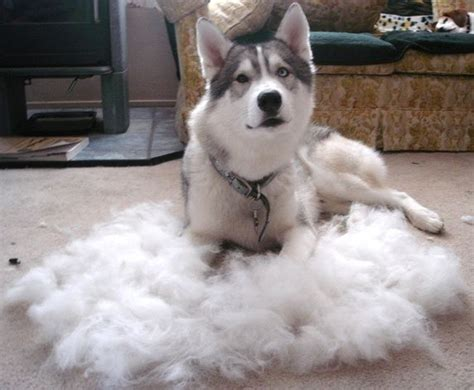 do samoyed dogs shed a lot quora
