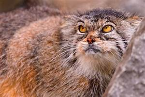 Why is the face of the Pallas' cat so expressive? | MNN ...