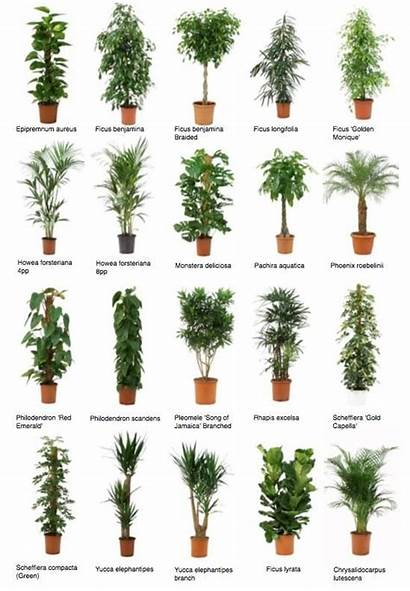 Plants Common Office Indoor Plant Trees Potted